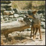 Iberisk ulv