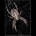 Den største korsedderkop, jeg endnu har set.
