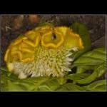 Blomsterhjerne. Med mange folder er den mangfoldig, men har den kun en kaldes den enfoldig. Jeg ved ikke hvad, der er bedst!