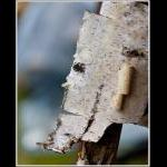 Barsk birk
