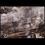 Tegning af lav på fældet træ